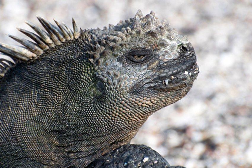 Marine Iguana Of The Galapagos Islands