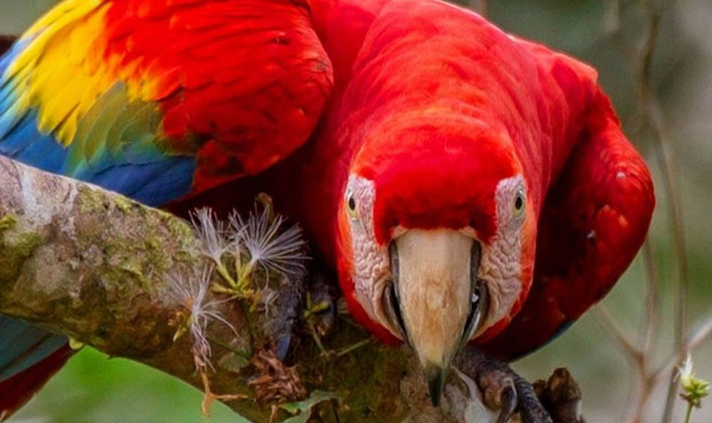 Tambopata Macaw