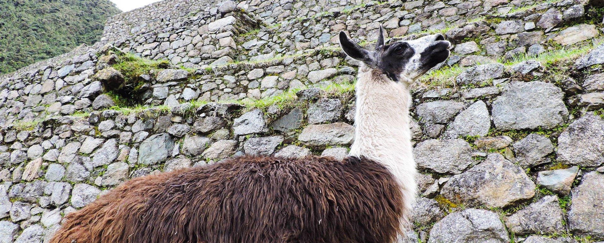 llama at Machu Picchu ruins